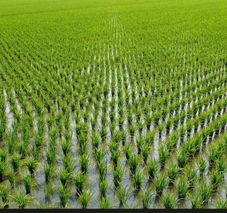برنامه تغذیه برنج