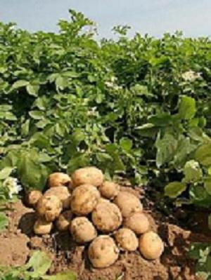 برنامه تغذیه ای سیب زمینی